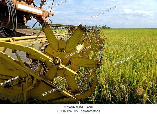 Harvesting ripe rice on paddy field