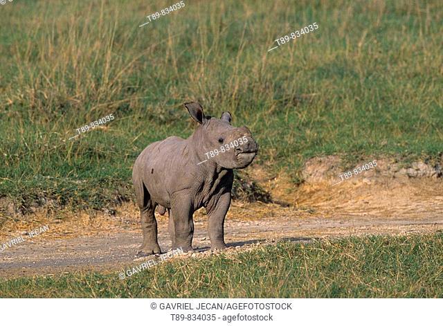 White Rhinoceros Ceratotherium simum calf