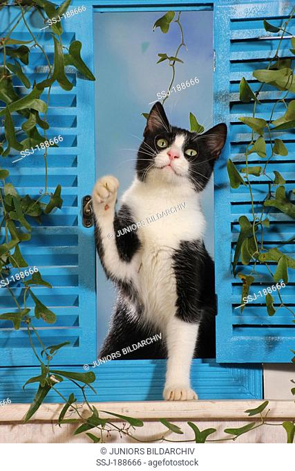 Domestic cat. Black and white kitten (6 month old) in a window with blue shutters. Spain