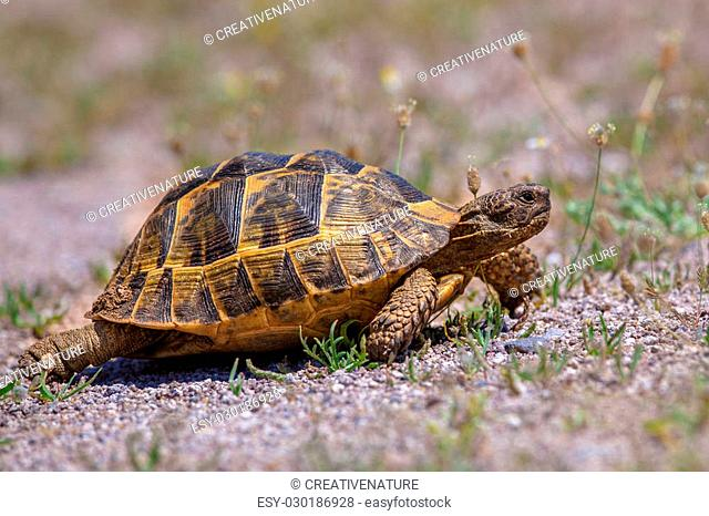 Firmly walking Spur-thighed tortoise or Greek tortoise (Testudo graeca) on gravel and vegetation. This is one of five species of Mediterranean tortoise placed...