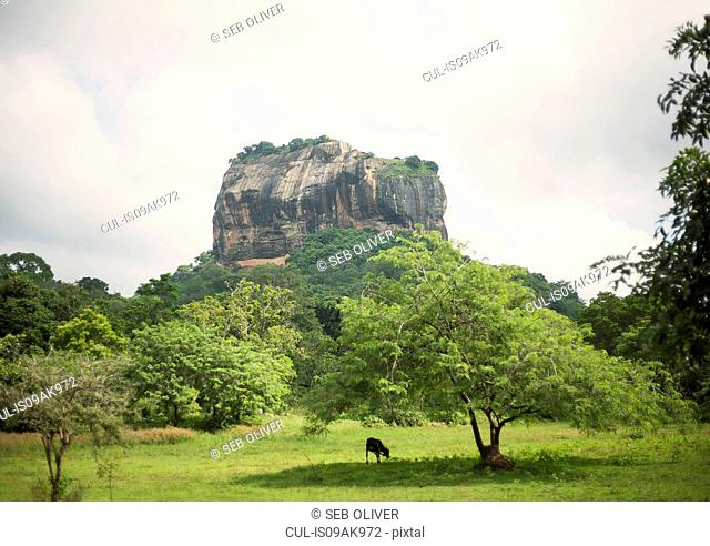 Cow grazing in fields below Sigiriya (Lion Rock), Sri Lanka