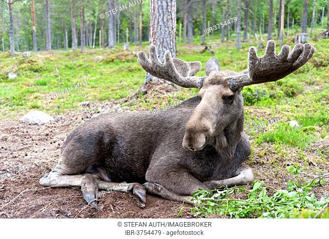 Moose (Alces alces), bull lying in the woods with the palmate antlers in velvet, in a moose park, Mörkret, Dalarna County, Sweden