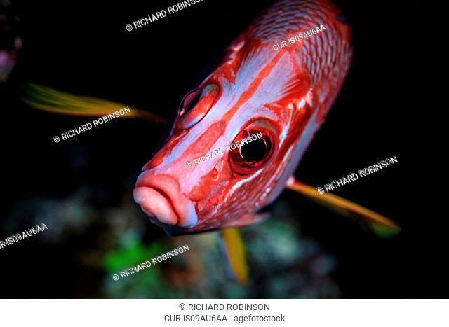 Underwater view of sargocentron diadema (crown squirrelfish) at Palmerston Atoll, Cook Islands