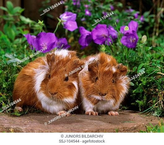 two young guinea pigs - in front of flowers / Caviidae
