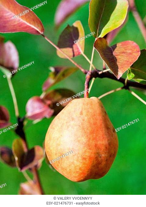 ripe yellow and red pear on tree