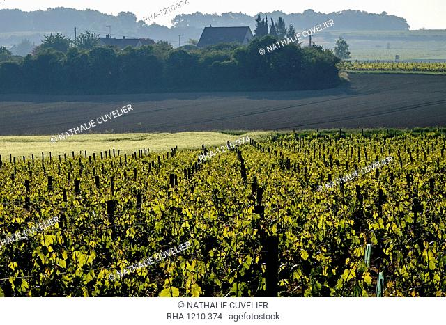 Vineyard, Chinon, Indre et Loire, France, Europe
