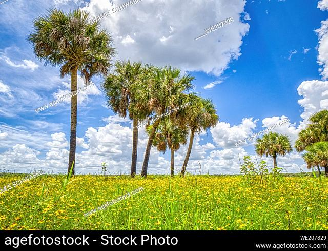 Summer day with blue sky and white clouds in Myakka River State Park in Sarasota Florida USA