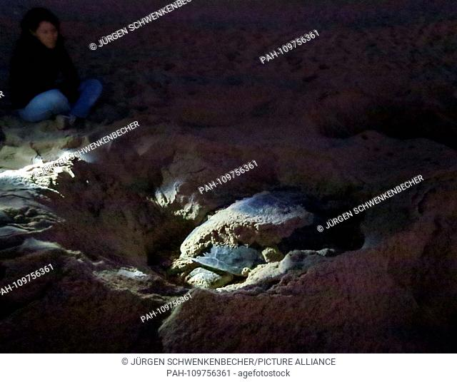 A Green Sea Turtle (Chelonia mydas) laying eggs at night on a protected stretch of beach near Ras al-Jinz (Oman). Only with advance permission