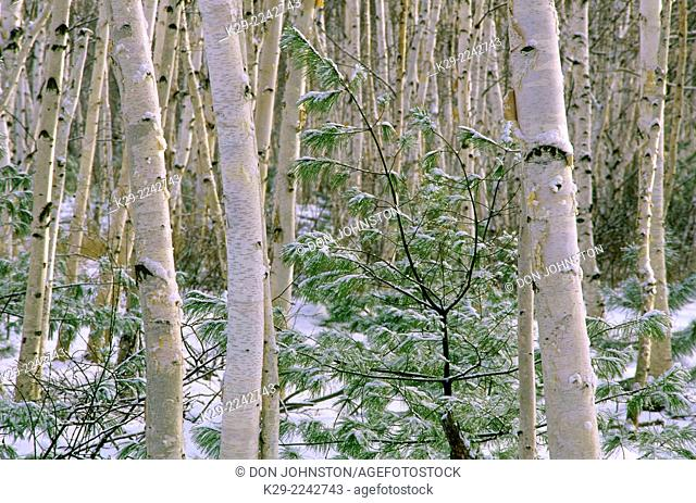 A dusting of fresh snow in a birch woodlot with white pine saplings, Greater Sudbury, Ontario, Canada