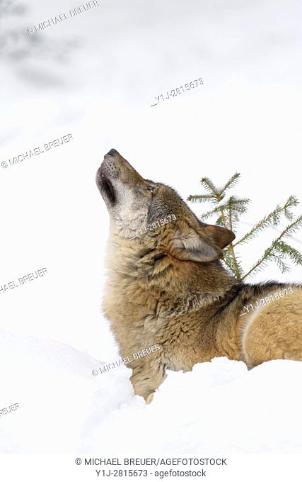 European Wolf in Winter, Canis lupus, Bavarian Forest National Park, Germany, Europe