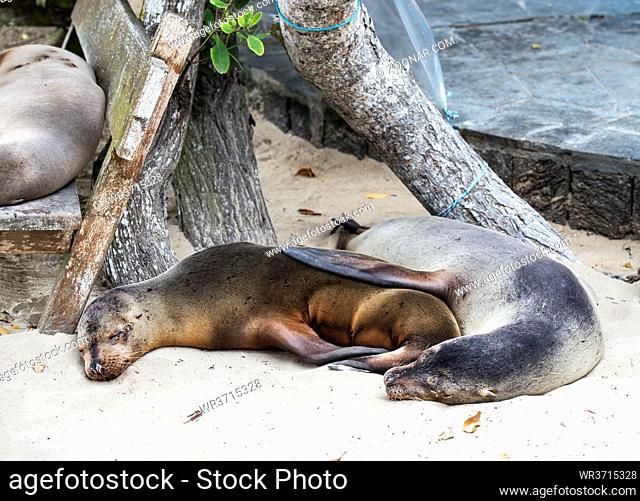 Schlafende Galapagos Seelöwen (Zalophus wollebaeki), Familie der Ohrenrobben (Otariidae), Insel Isabela, Galapagos Inseln