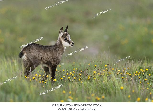 Chamois / Gaemse ( Rupicapra rupicapra ), cute fawn, young baby animal, standing in a flowering alpine meadow, watching for its parents, Europe