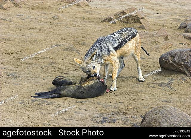 Black-backed Jackal (Canis mesomelas) at carcass of South African Fur Seal (Arctocephalus pusillus), Cape Cross, Namibia, Africa