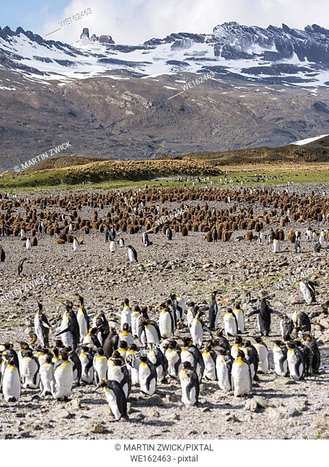 King Penguin (Aptenodytes patagonicus) on the island of South Georgia, the rookery in Fortuna Bay. Antarctica, Subantarctica, South Georgia