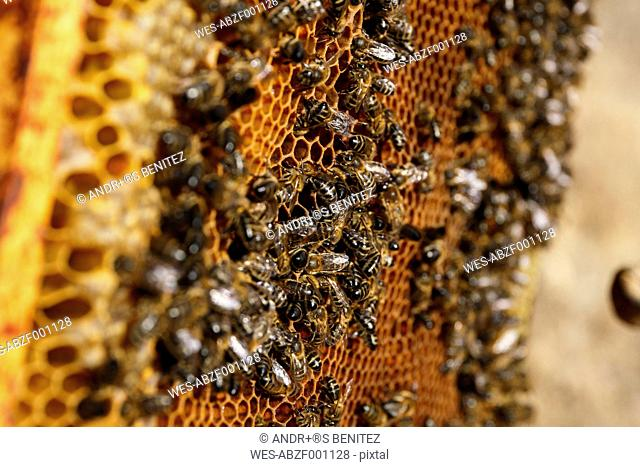 Bees sitting on honeycombs