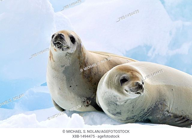 Crabeater seal Lobodon carcinophaga hauled out on ice floe near the Antarctic Peninsula, Antarctica  MORE INFO Crabeater seals often exhibit spiral scarring on...