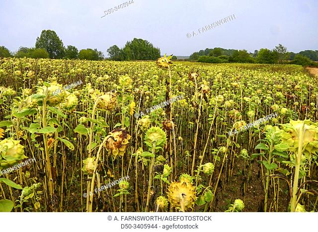 Visby, Gotland, Sweden Sunflowers in a field