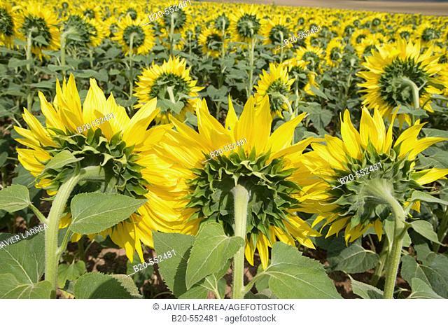 Sunflowers field. 'Learza' estate. Near Estella, Navarre, Spain