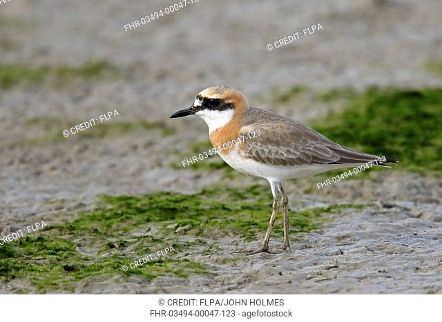 Greater Sand Plover (Charadrius leschenaultii) adult, breeding plumage, standing on mudflats, Mai Po Marshes Nature Reserve, New Territories, Hong Kong, China