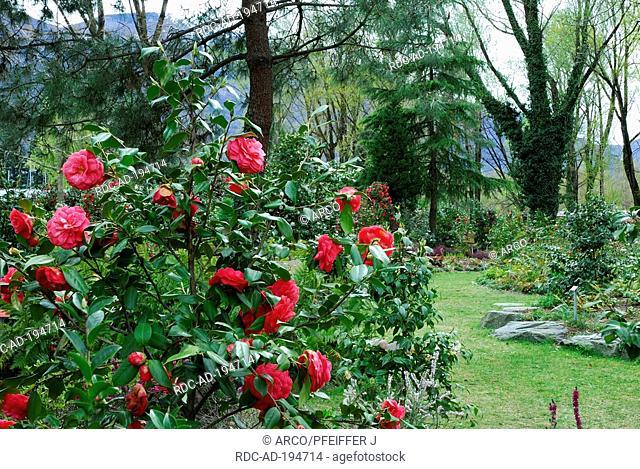 Camellia bush, Camellia park, Locarno, Ticino, Switzerland, Camellia japonica, Theaceae