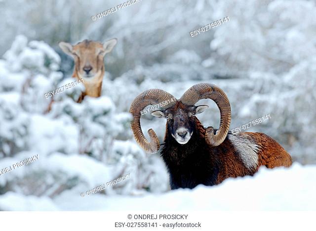 Male and female of Mouflon, Ovis orientalis, winter scene with s
