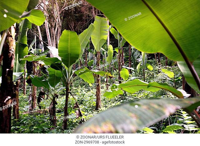 Suedamerika, Karibik, Venezuela, Nord, Choroni, National Park Hanri Pittier, Bananen, Plantage, Landwirtschaft, Regenwald, Nebelwald, Tschungel, Natur