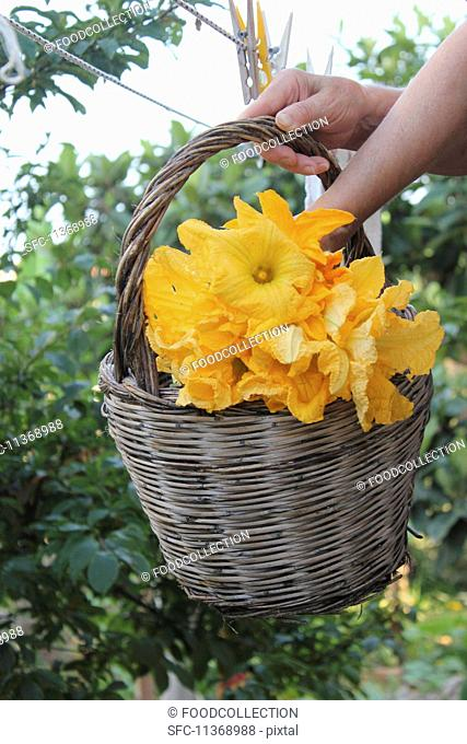 Hands holding a basket of courgette flowers in the garden