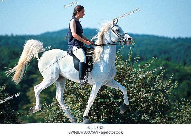 pure-bred Arab horse Equus przewalskii f. caballus