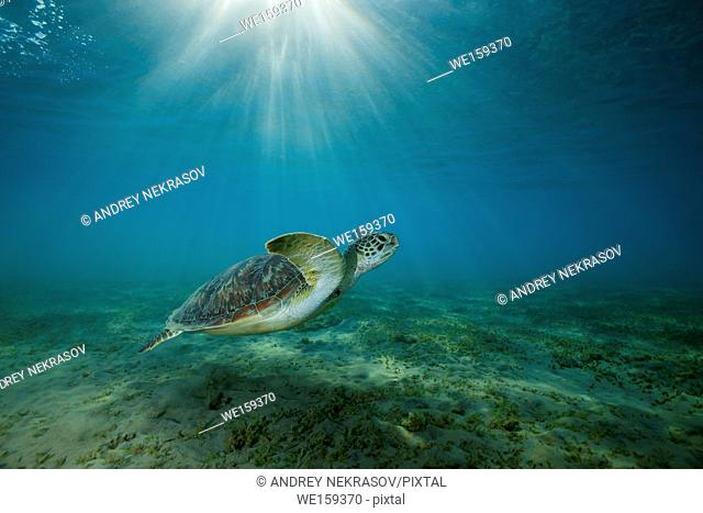 green sea turtle (Chelonia mydas) swim over sandy bottom with sea grass