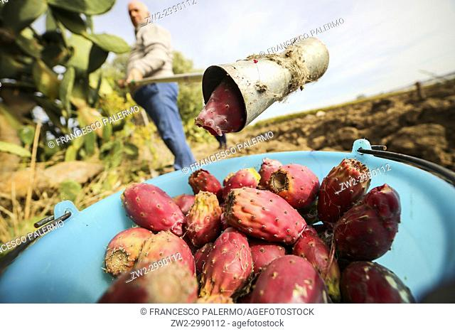 Male picking prickly pears with a ingenious tool. Canosa DP, Puglia. Italy