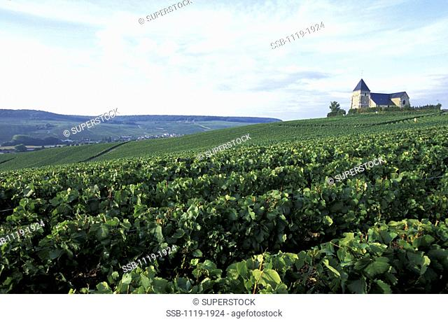 Vineyard on a hill, Epernay, France