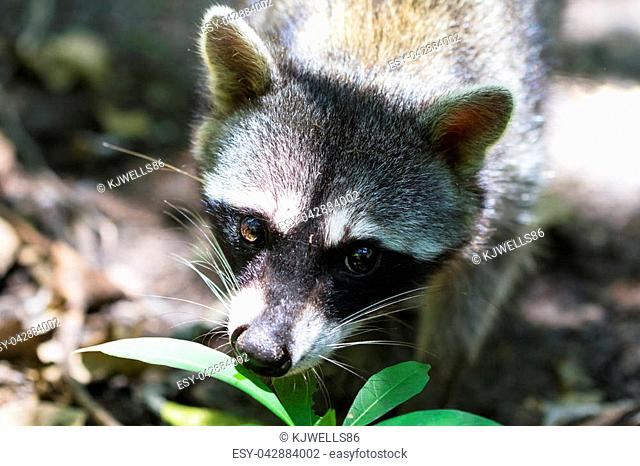 A raccoon (Procyon lotor) on the jungle floor in Cahuita National Park, Costa Rica