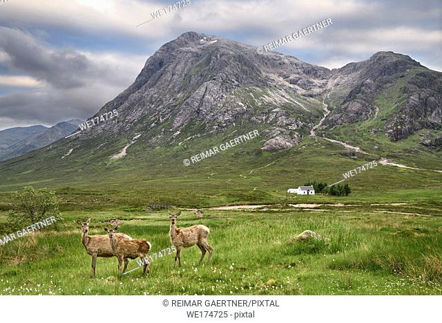 Three moulting Red Deer at River Coupall under Stob Dhearg peak of Buachaille Etive Mor mountains at Glen Coe Scottish Highlands Scotland