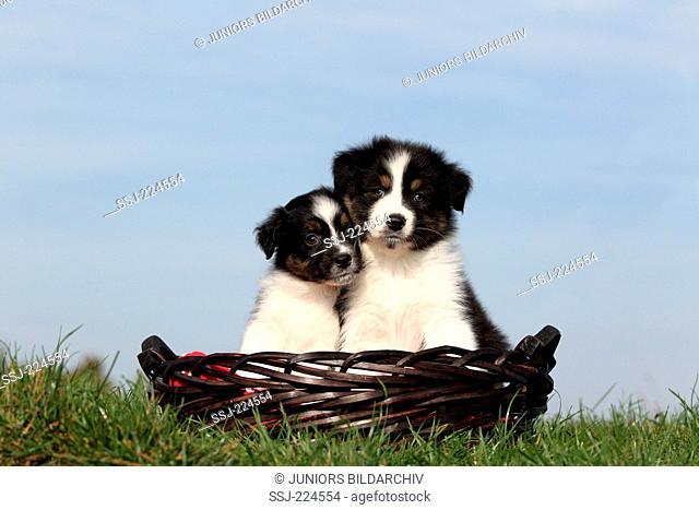 Australian Shepherd. Two puppies in a basket on a meadow. Germany