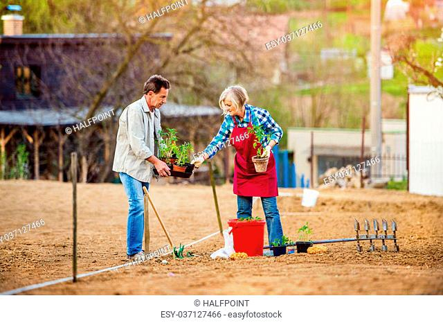 Senior couple planting seedling in spring into the ground in their back yard