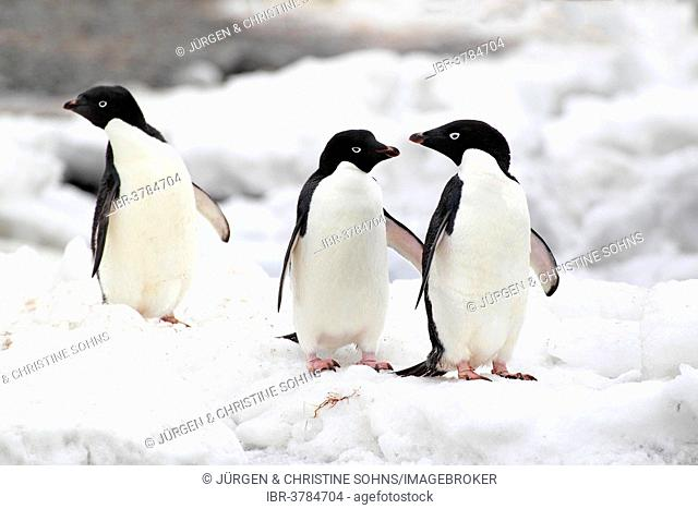 Adelie Penguins (Pygoscelis adeliae), adults, Antarctica