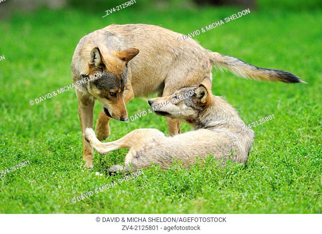 Two Eastern wolves (Canis lupus lycaon) on a meadow, Germany, Europe
