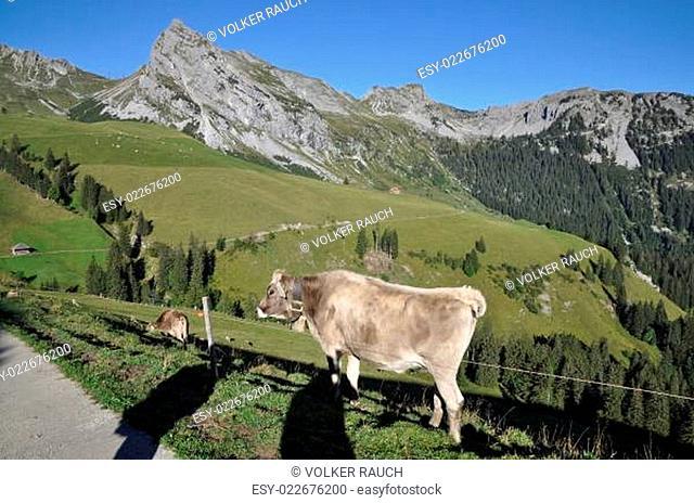 Kühe an der Fluonalp