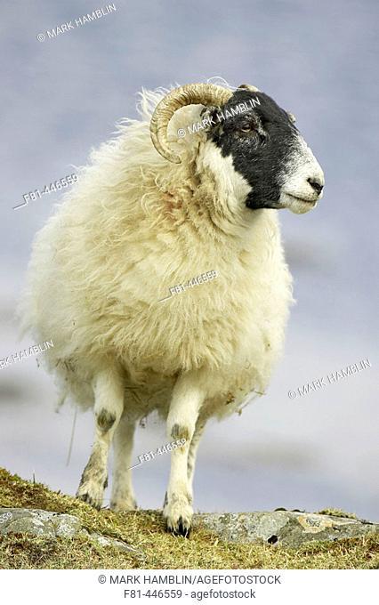 Black-faced Sheep ewe (female). Isle of Mull, Scotland