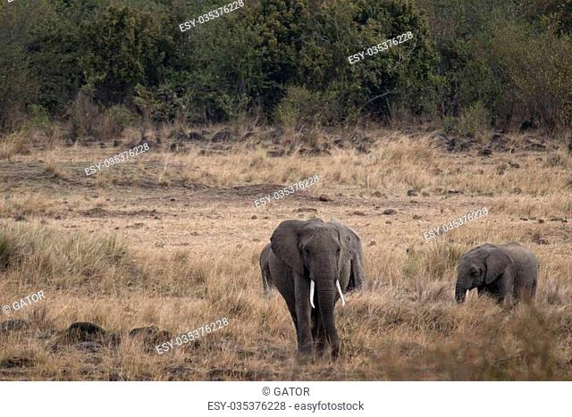 African elephant with calf went out from bushes to grassland, Masai Mara National Reserve, Kenya