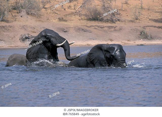 African Bush or Savanna Elephants (Loxodonta africana) bathing in the water