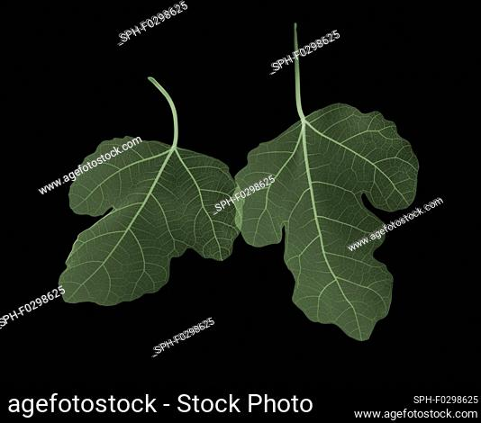 Two green fig (Ficus carica) leaves overlapping, X-ray