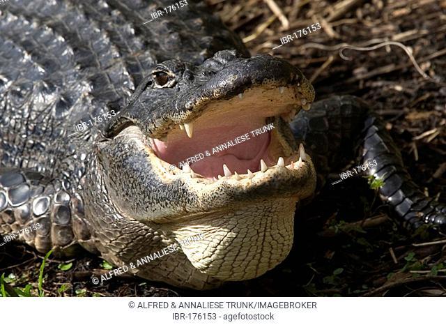 Alligator mississippiensis Aligator