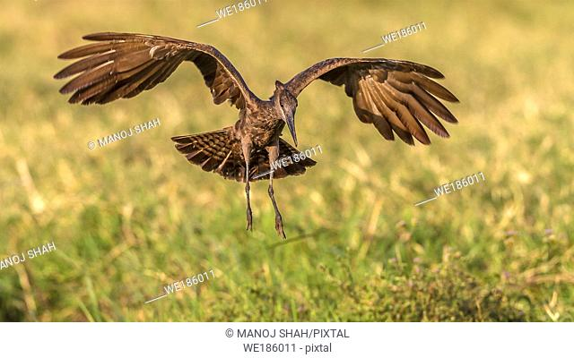 African Hoopoe landing from Flight in Masai Mara