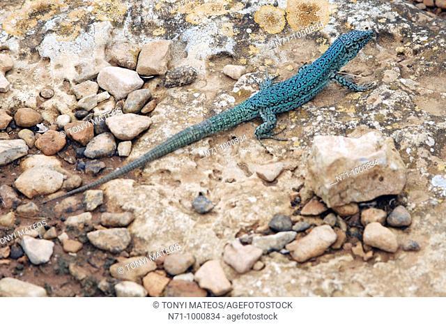 Lizard, Formentera, Balearic Islands, Spain