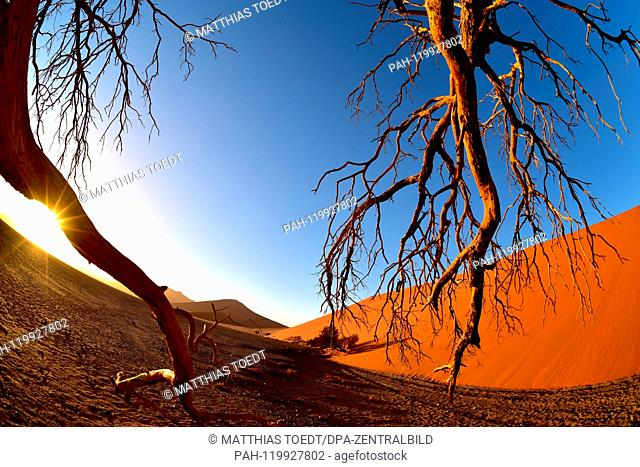 Acres of an acacia at the foot of a dune in Sossusvlei at sunrise, taken on 01.03.2019. The Sossusvlei in the Namib-Naukluft National Park has been a UNESCO...