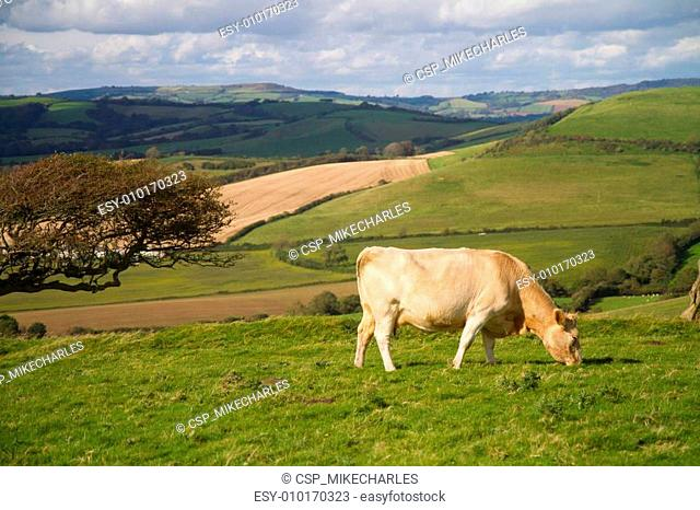 Cow grazing in Dorset countryside
