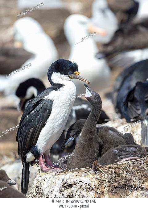 Chicks in nest in a huge rookery. Imperial Shag also called King Shag, blue-eyed Shag, blue-eyed Cormorant (Phalacrocorax atriceps or Leucarbo atriceps)