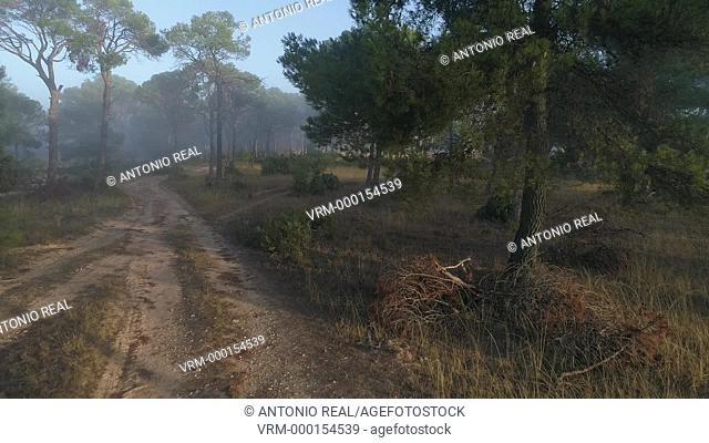 Pine forest with fog. Almansa. Albacete province