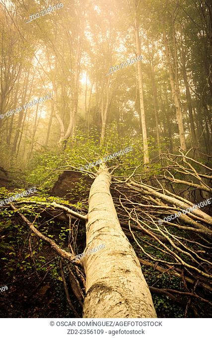 Fallen tree in European Beech forest (Fagus sylvatica). Montseny Natural Park. Barcelona. Catalonia. Spain